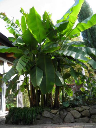 mehrere ausgepflanzte große Musa Basjoo Faserbanane