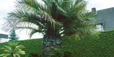 Bild einer Jubaea chilensis welches zur Unterseite mit weiteren Info´s zu dieser Palmenart verlinkt ist