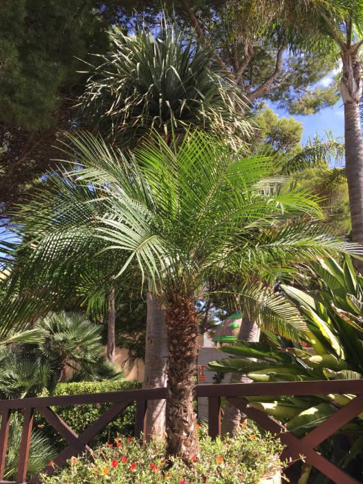 Bild: Phoenix roebelinii auf Mallorca