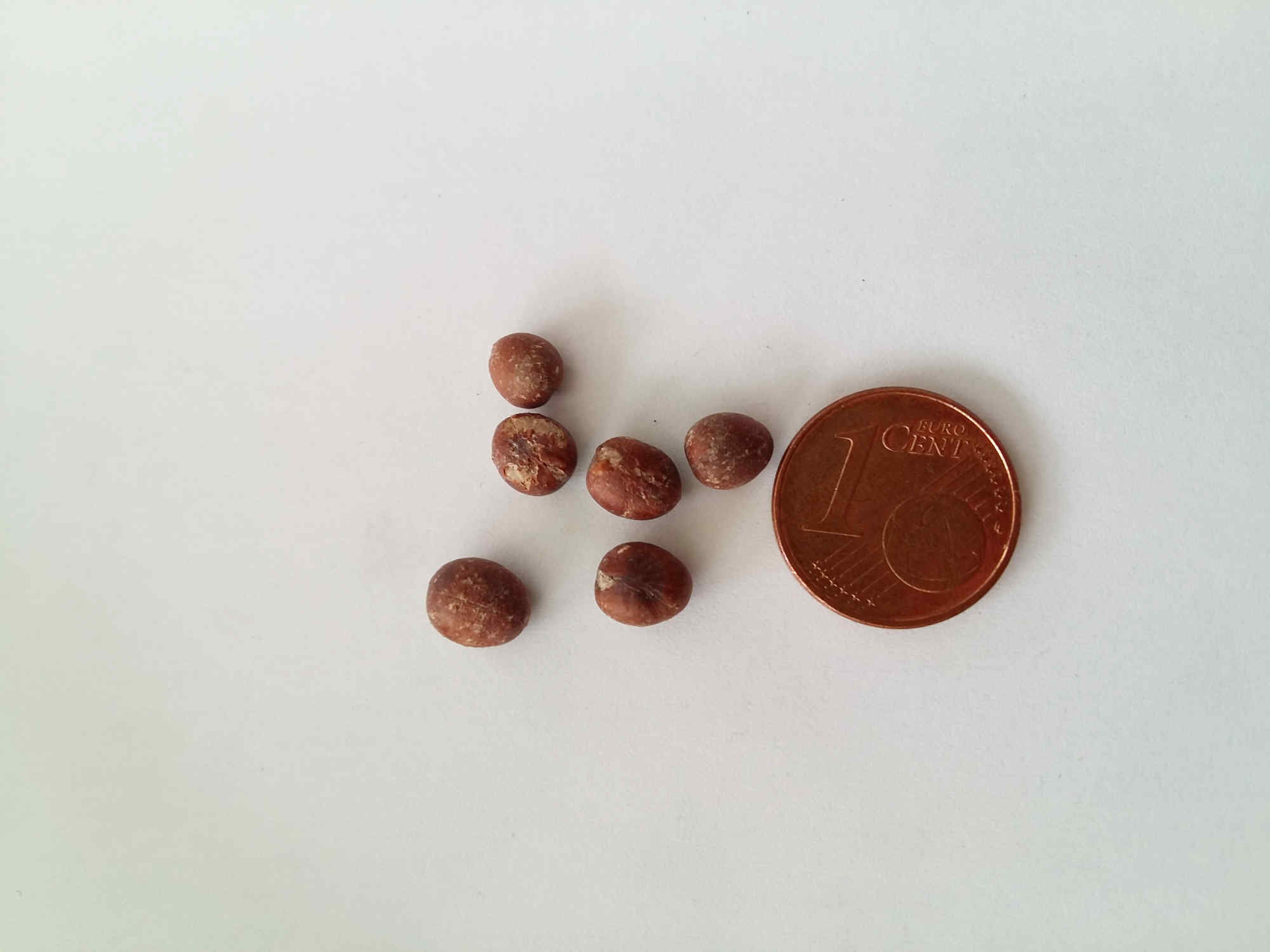 Bild der Samen einer Washingtonia robusta