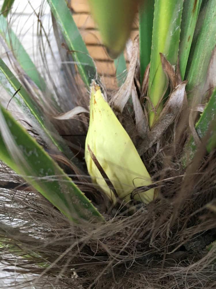 Bild einer heranwachsenden Blüte einer männlichen Hanfpalme