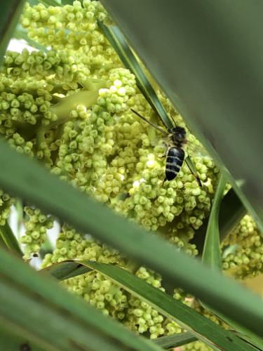 Bild einer Biene in der Blüte der Trachycarpus fortunei