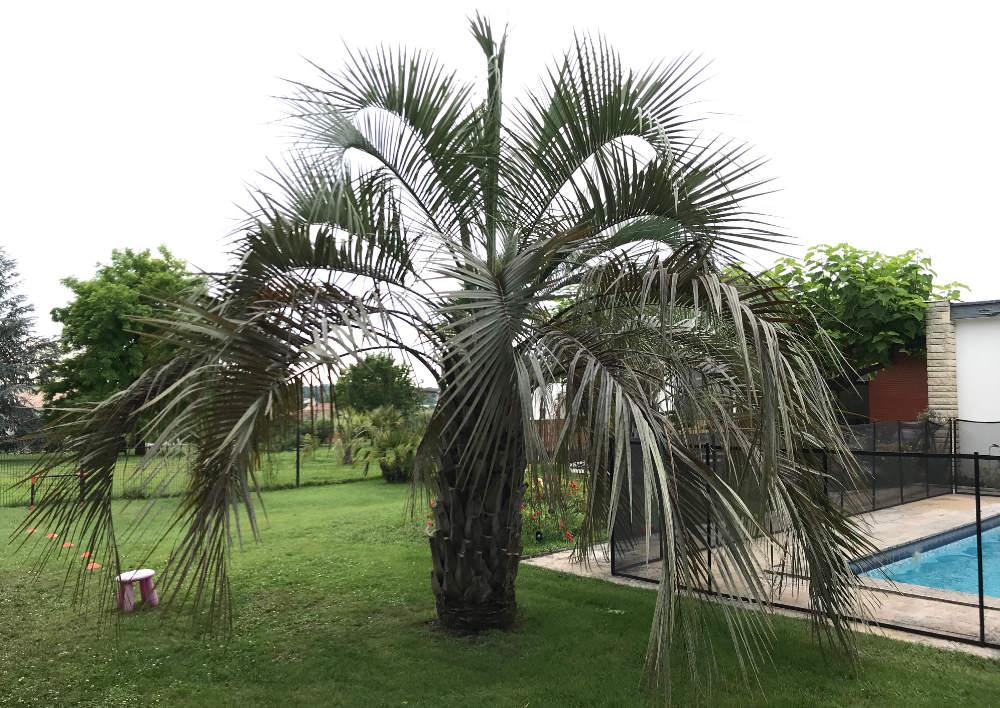 Bild einer großen ausgepflanzten Butia capitata