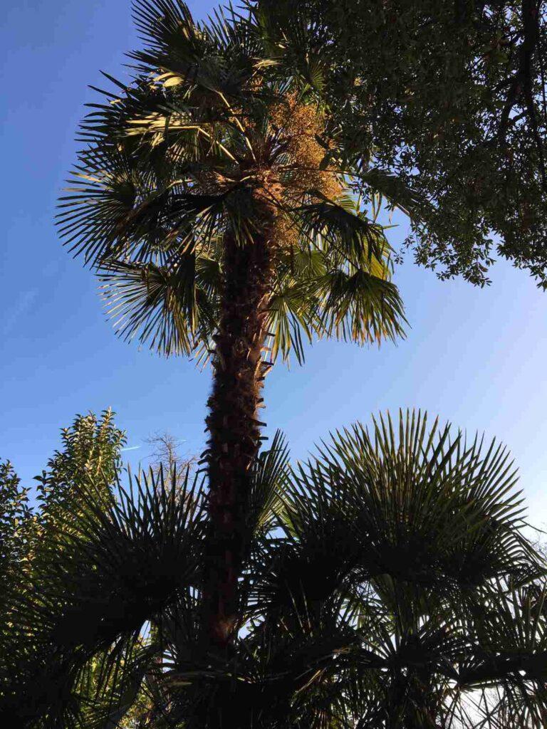 prachtvolle winterharte Palmen mit mehreren Metern Höhe