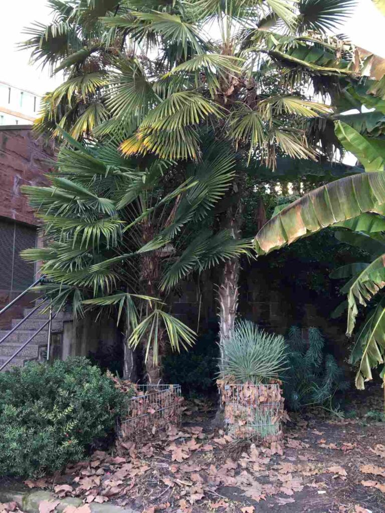 groß gewachsene Trachycarpus fortunei an der Kaimauer