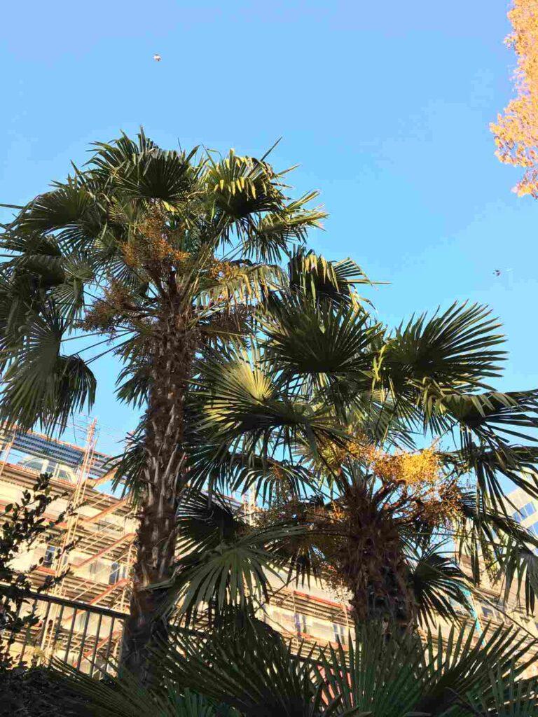 der Blick nach oben in die Kronen der ausgepflanzten Hanfpalmen