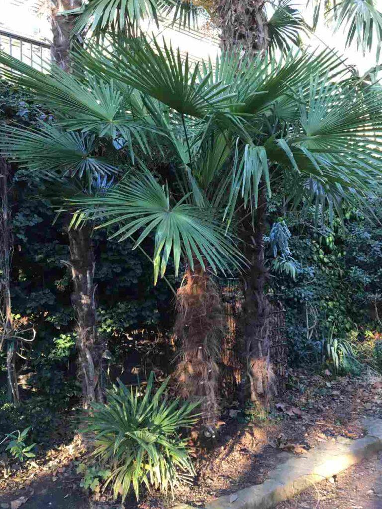 Bild Trachycarpus Nanus neben anderen etwas größeren Hanfpalmen