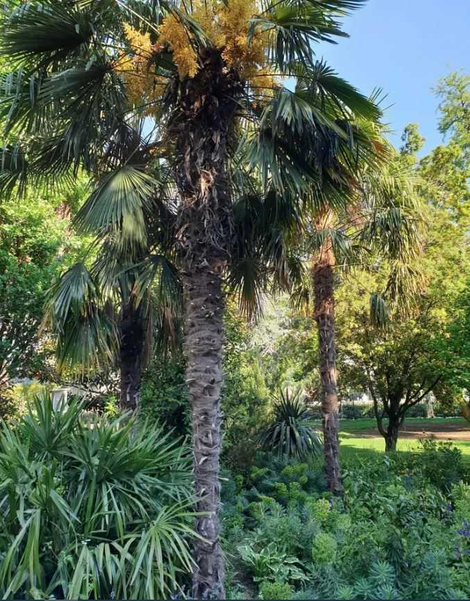 Bild ausgepflanzter männlicher Trachycarpus fortunei Hanfpalmen