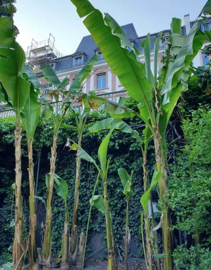 Bild von Musa Basjoo Bananenpflanzen im Frankfurter Nizza Park