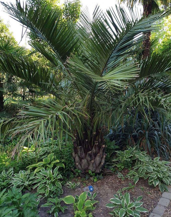 Bild einer mittelgroßen Jubaea chilensis