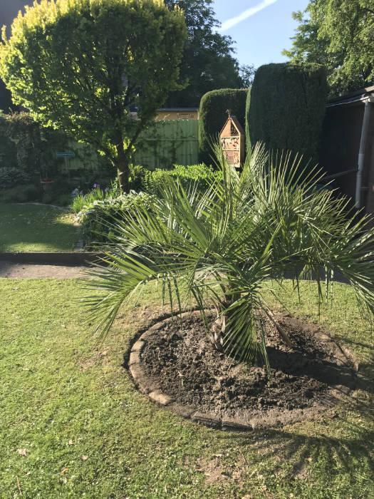 Bild der neuen Butia capitata im Garten
