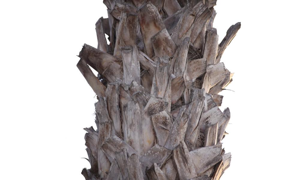 Bild eines Stammes der Washingtonia Palme