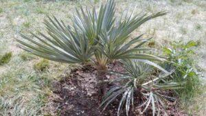 seltene Palmenart Trithrinax campestis ausgepflanzt in Deutschland
