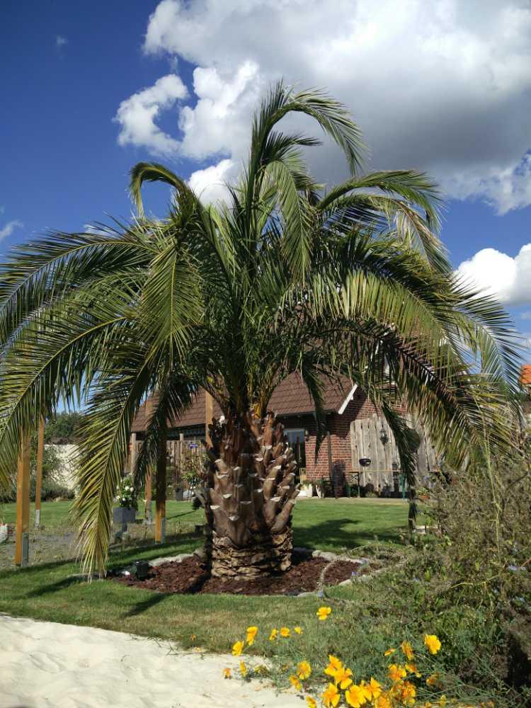 50 Jahre alte ausgepflanzte Dattelpalme